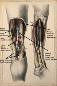 pain in back of knee gastrocnemius, hamstrings, tibial nerve, fibular nerve
